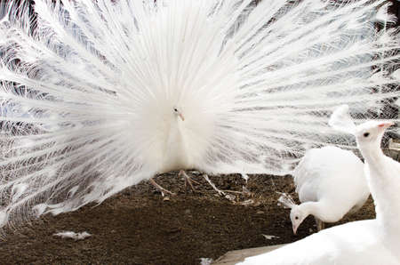 A white peacock fanned his gorgeous tail