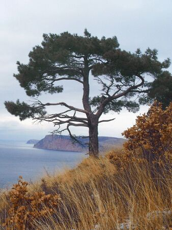 The lonely pine.  photo