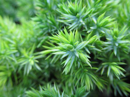 juniper: Fresh green juniper branch close-up Stock Photo
