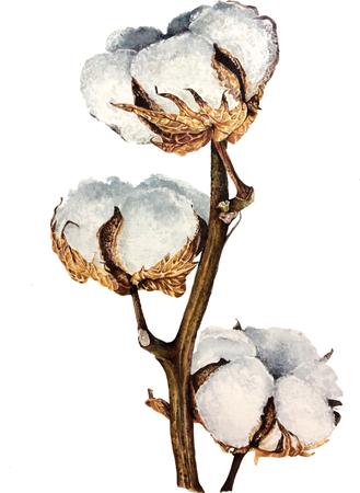 Watercolor illustration of boho cotton balls on white background. Hand painted floral boho card. Cotton branch flower print Standard-Bild - 122844482