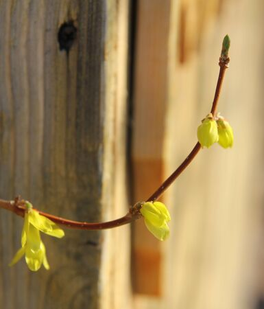 forsythia: Flowering forcing (forsythia, Forsythia) against the background of a wooden structure. Spring flowers
