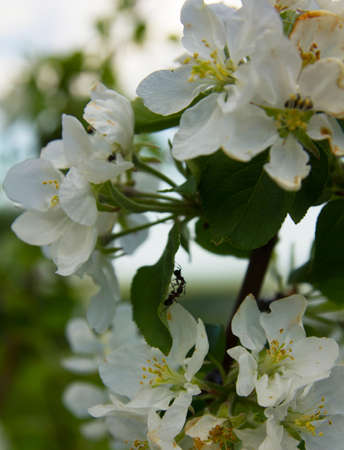 branch of blooming Apple tree with ants