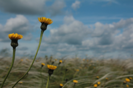 Field with feather grass and yellow flowers against a blue sky with clouds Stock Photo