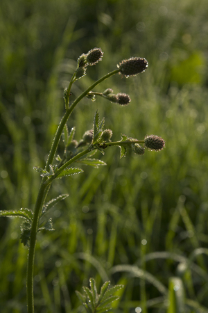 greengrass: the flower of the field grass with dew drops in the morning mist lights the rising sun Stock Photo