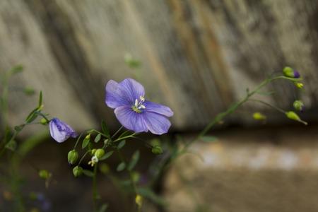 古い家の壁から青い亜麻の花 写真素材
