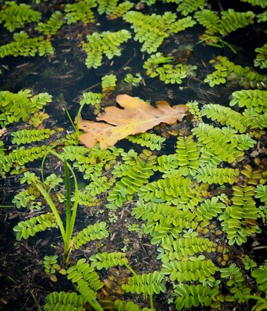 salvinia: Salvinia Salvinia natans and the fallen oak leaf on the surface of the forest Stock Photo