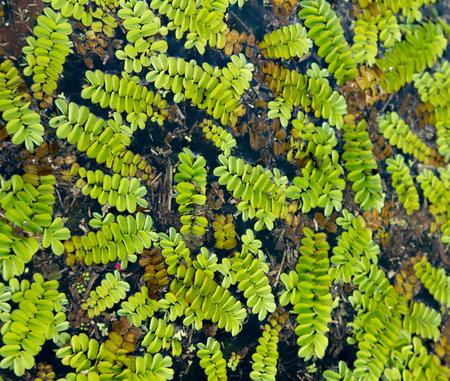 salvinia: Floating fern Salvinia natans on water surface