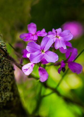 Blooming dames rocket Hesperis matronalis L. under the trunk of a tree covered with moss