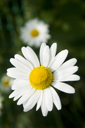 White Daisy.Field chamomile on a summer day against a background of green grass