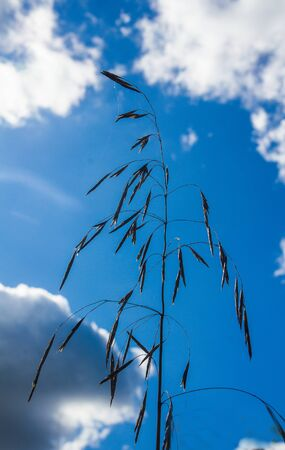 a stalk of field grass with seeds against a blue sky clouds Stock Photo