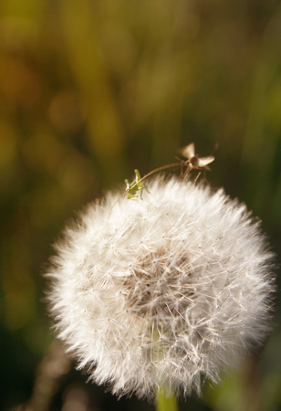 Small insects and dandelion