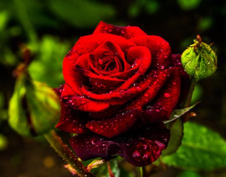 Red RoseBlossoming red rose