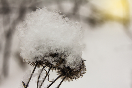Snowflakes on thistle seeds during a winter sunset Banco de Imagens