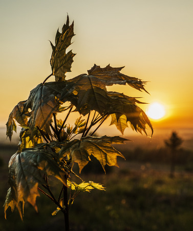 Maple at sunrise in backlight.