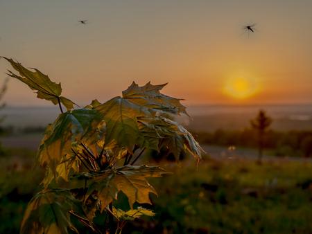 Mosquito over maple at sunrise Stockfoto