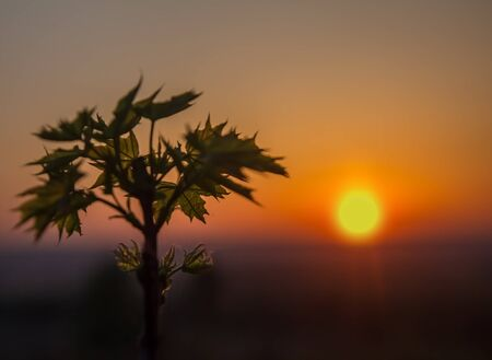 Leaves of young maple at sunrise