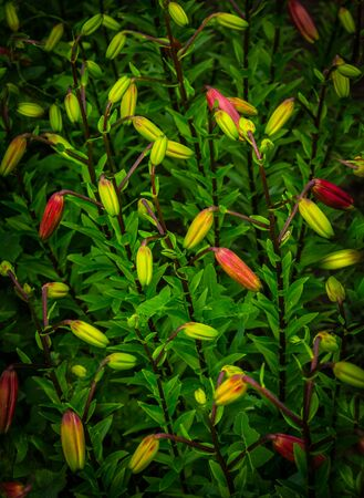 .Buds of red garden lilies ready to bloom in a summer July flowerbed.Bush of red lilies in a summer garden