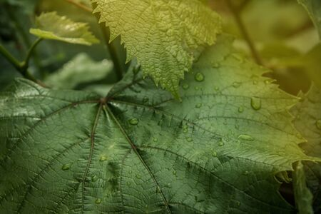 Grape leaf with dew drops in the warm light of the summer sun Archivio Fotografico - 132096447