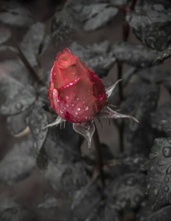 Bud of a blooming red rose on a bush with leaves after rain