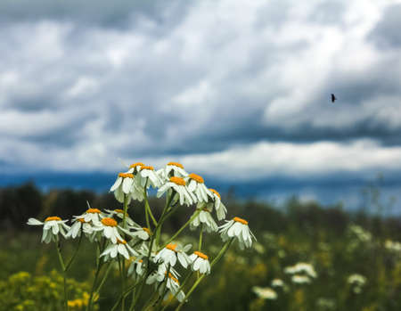 Blooming chamomile bush in a summer field under thunderclouds in the sky and a flying bird with open wings Reklamní fotografie