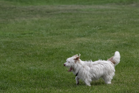 White west highland terrier dog outdoors in summer