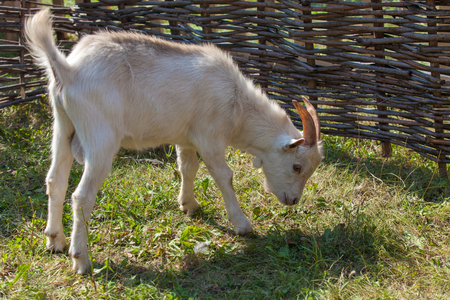 pygmy goat: White goat with horns standing on the green grass