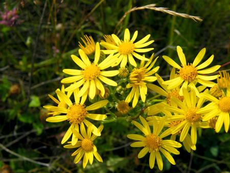 senecio: Jacobea vulgaris or Senecio Jaco. Wild poisonous and medicinal plant of Siberia