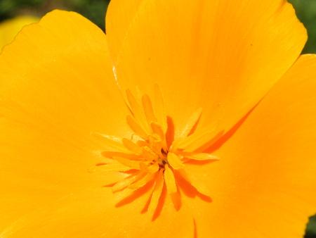 californian: Flower Eschscholzia varieties close-up shot in the summer Stock Photo