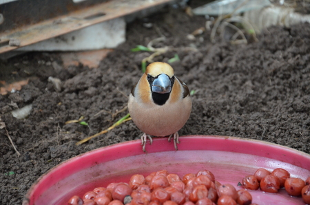 Coccothraustes in on the ground in the greenhouse with open Stock Photo