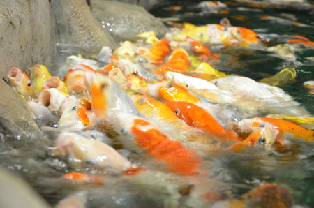 Fancy carp or Koi fish swimming at pond in the garden Stock Photo