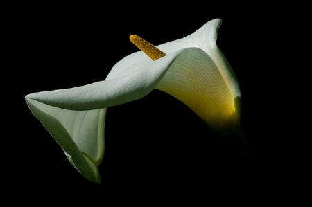 Very Nice art shot of beautiful calla Lilly on Black