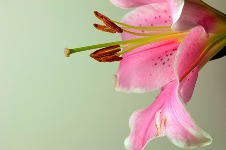 lillies: Nice side view of the stamen area of pink Tiger Lilly
