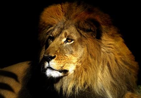 ferocious: Passive Lion Stock Photo