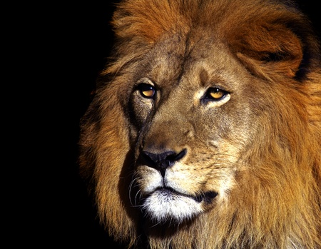 Portrait of the King of the jungle photo