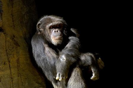 Chimp all alone