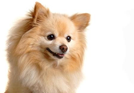 Pomeranian dog Imagens