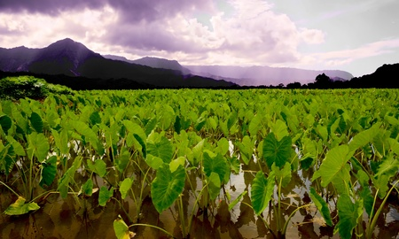 taro: Beautiful Image of the ancient Taro Fields of Kauai