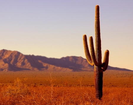 Image of Lonely Seguaro in the arizona desert photo
