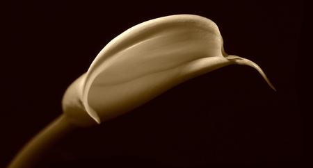 lilly: Perfect Sepia Image of Vintage classic calla lilly Stock Photo