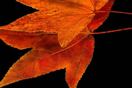 beautiful Close up of Two Fall Leaves On Black