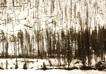 very nice Interesting Image of trees in the rockies in Winter photo