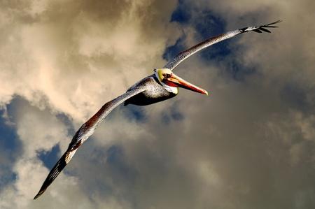 Nice Pelican that flies through the clouds Stok Fotoğraf