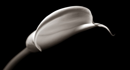 Beautiful Sepia toned Image of a Calla Lilly In Studio photo