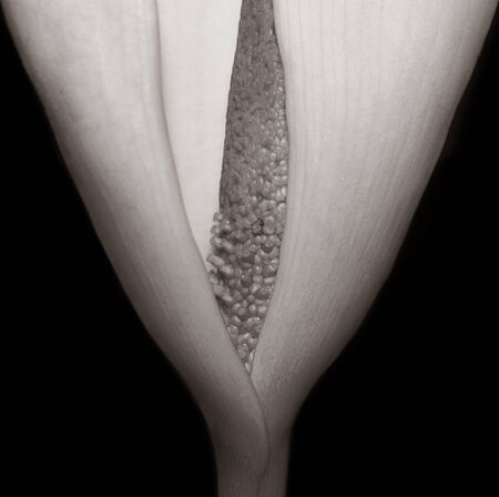Very Nice Image of a Calla Lilly closeup photo