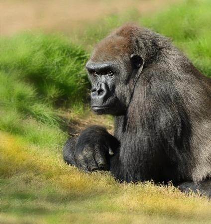 gorila: Imagen muy agradable de un gorila de Silverback Foto de archivo