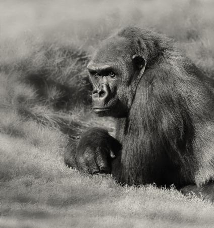 Very Nice Image of a Silverback Gorilla 写真素材