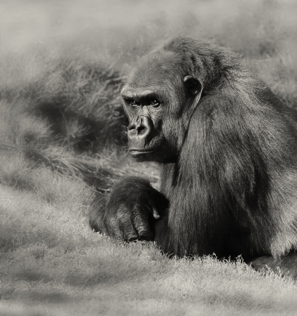 Very Nice Image of a Silverback Gorilla Banco de Imagens
