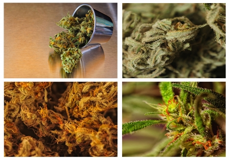 Beautiful collage or Collection of four strains of marijuana Фото со стока
