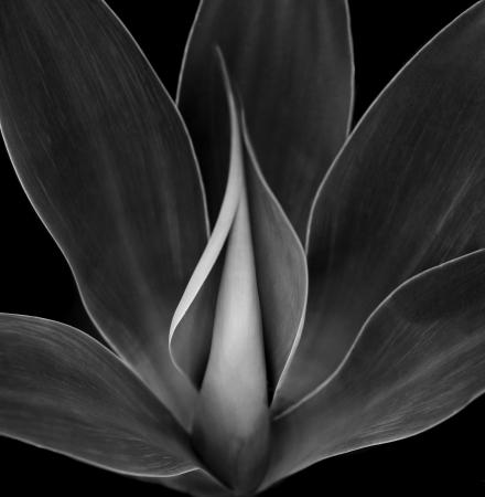 agave: Hermosa imagen en blanco y Negro de una Planta de Agave Azul