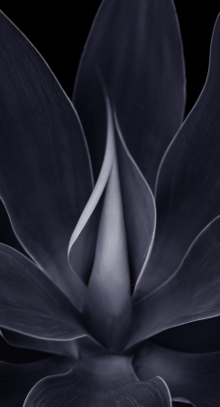 agave: Beautiful Black and white Image of a Blue Agave Plant